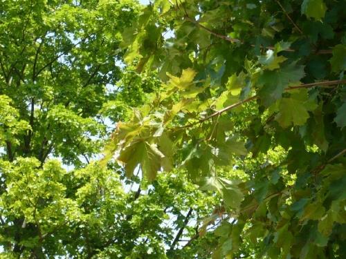 Blick ins Grün eines Baum