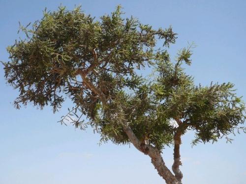 67 Salalah Weihrauchbaum
