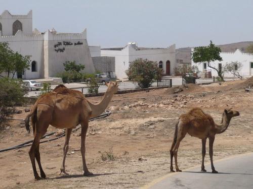 69 Salalah Kamele als Verkehrsteilnehmer