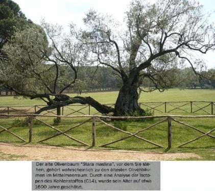 Olivenbaum 1.600 Jahre T3