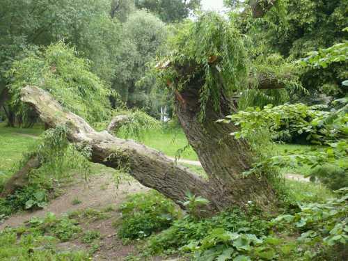 Baum bei Jena