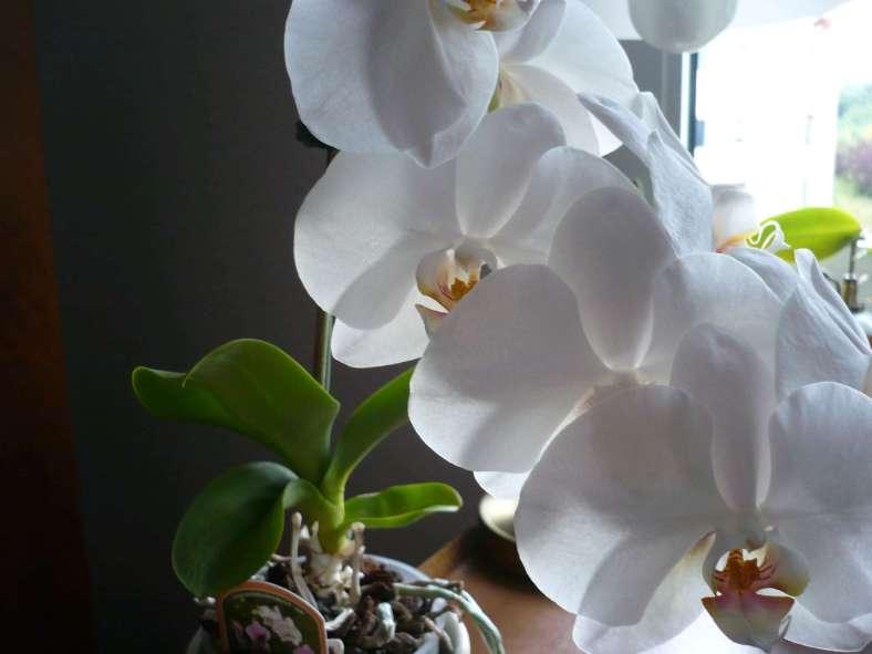 Orchideen .