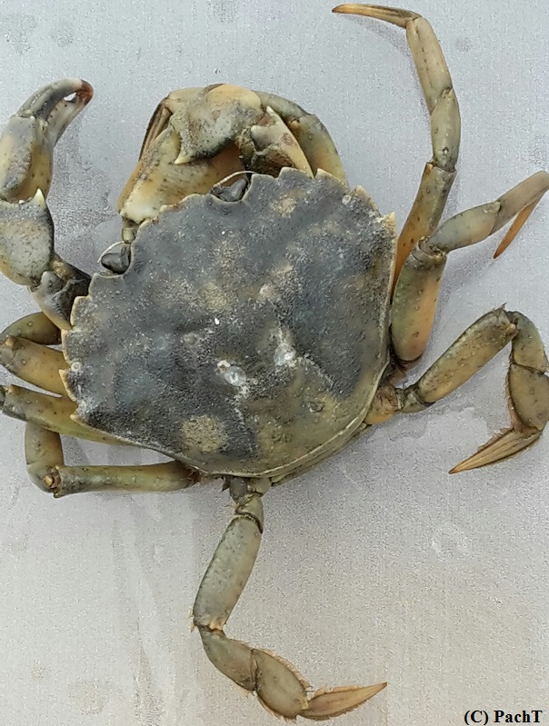 Dorum - Neufeld 37 Krabbe ... tot
