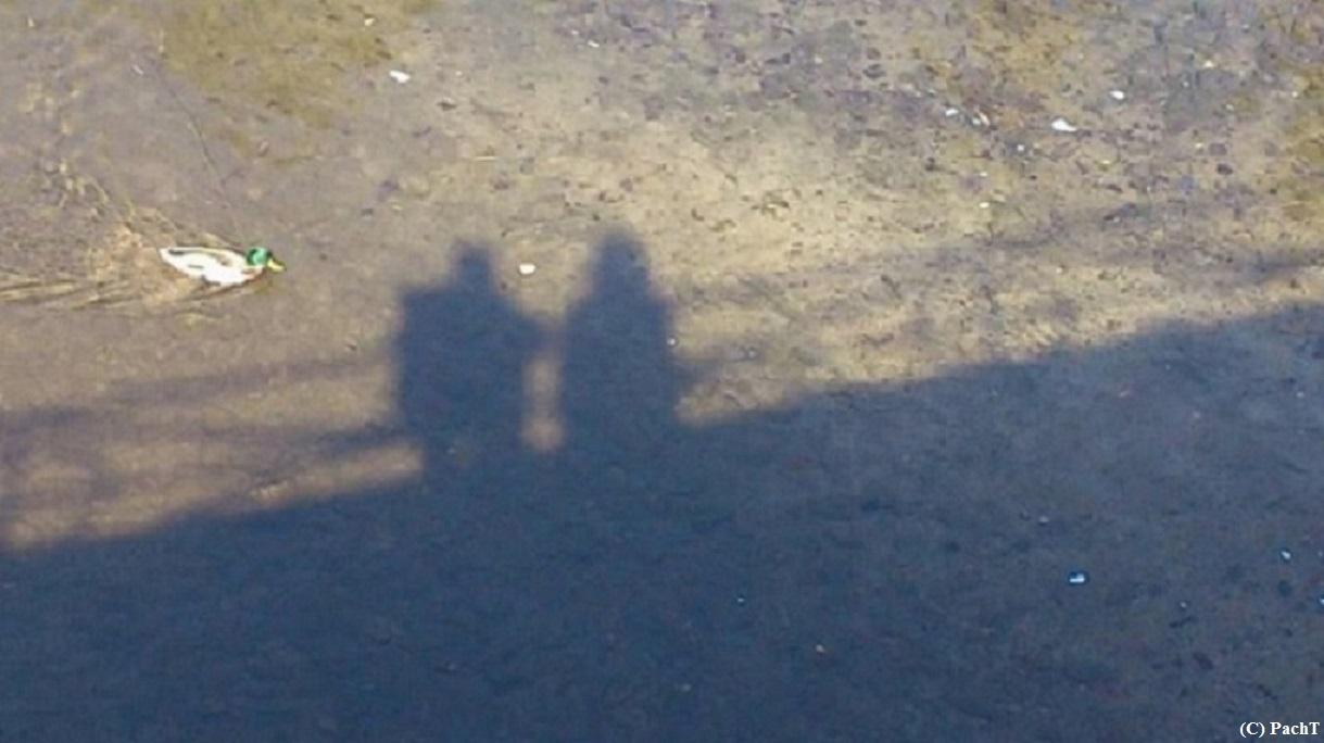 Ente mit Schatten