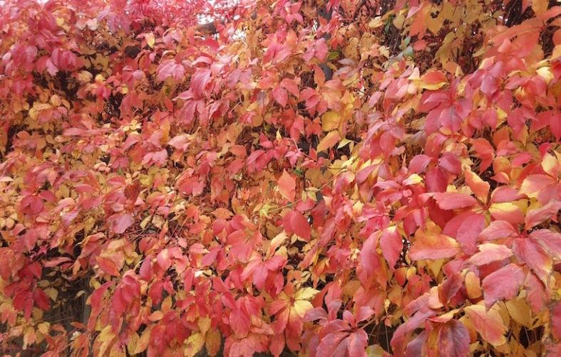Herbst Weinlaub