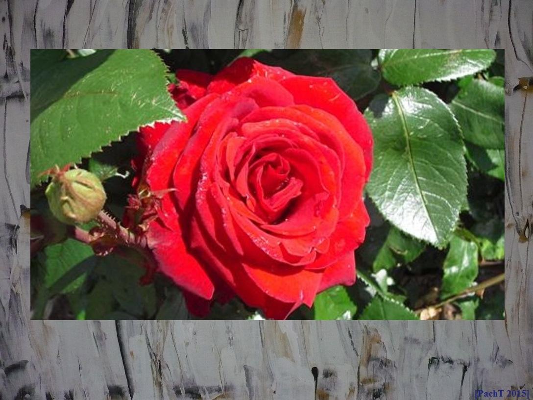 Rose auf Tablett