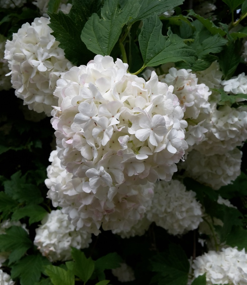Blüte Schneeball