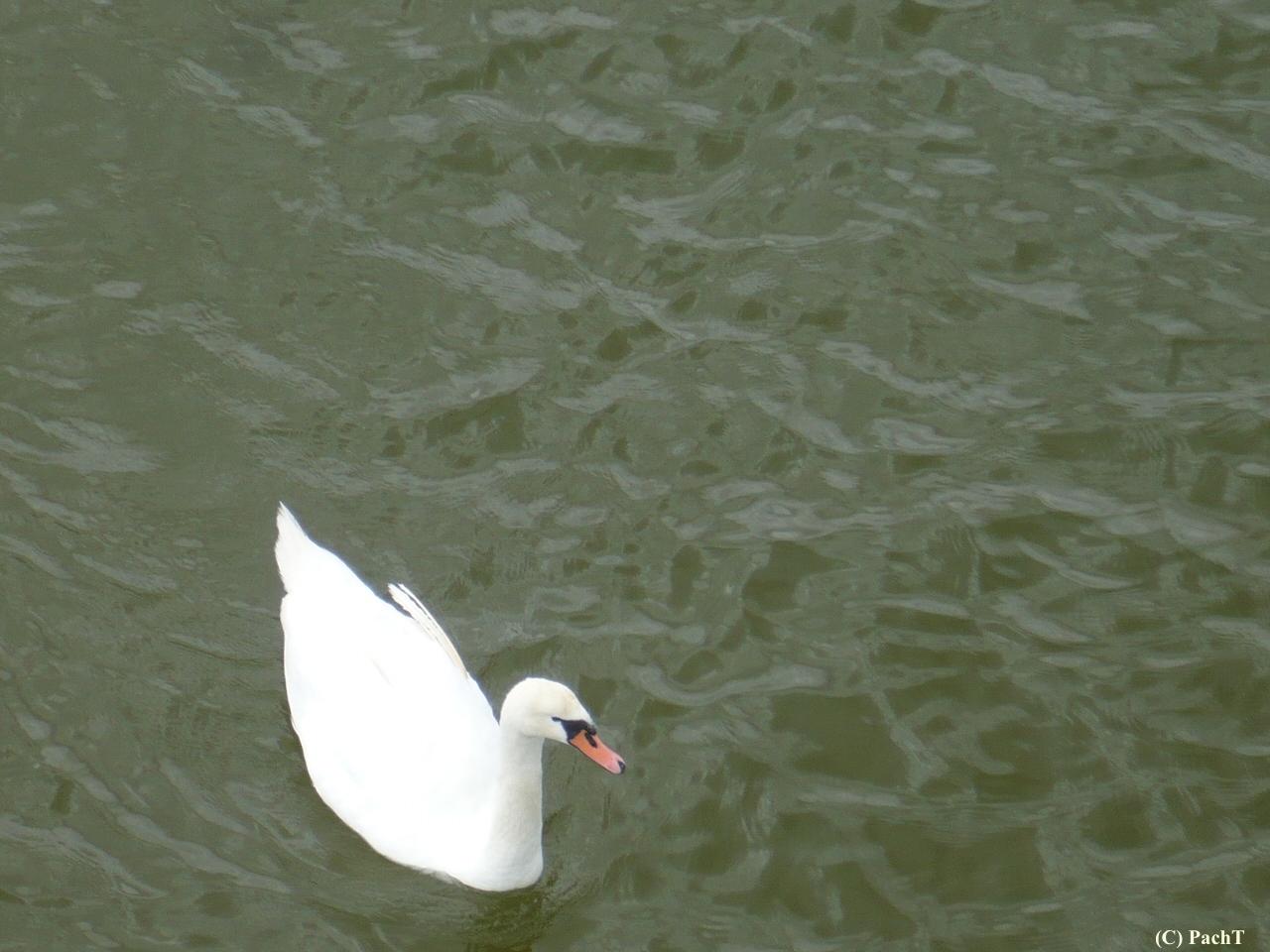 Schwan auf der Ostsee