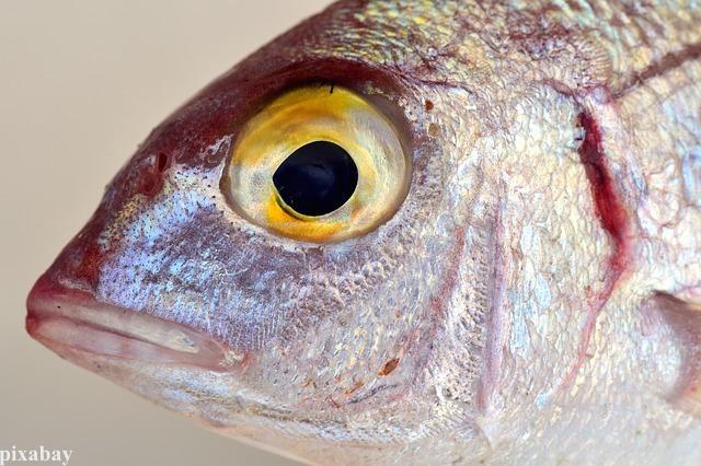 Fischkopf BARSCH