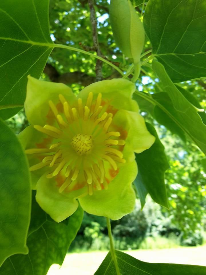 tulpenbaum 2 Bluete we-ilmpark