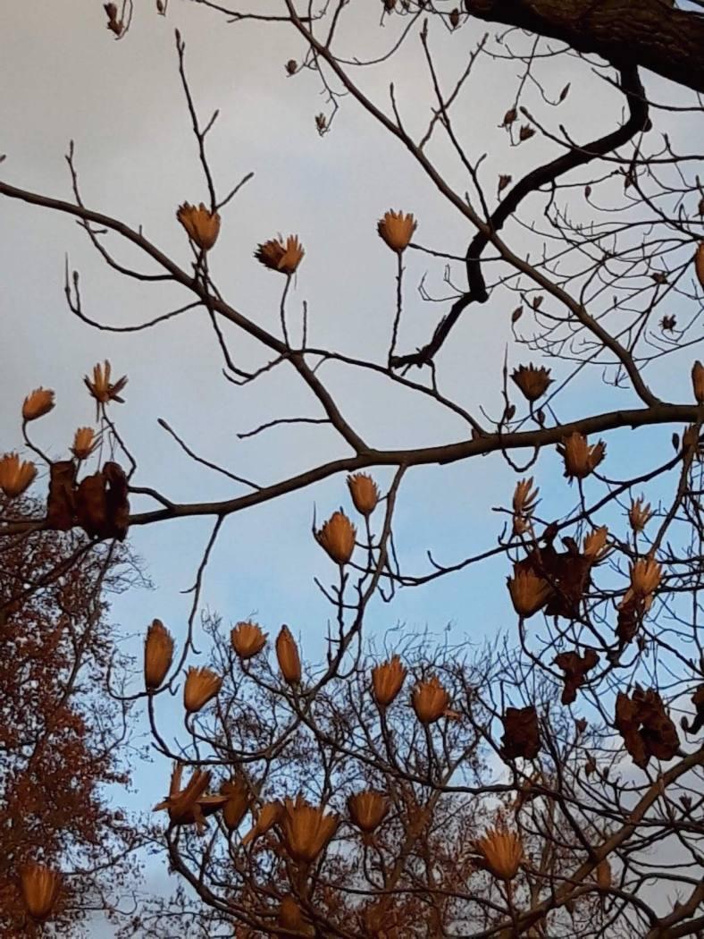 tulpenbaum 4 Samenstände we-ilmpark